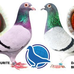 Win a free pigeon!